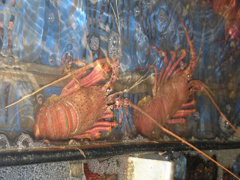 Rock Lobsters - waiting for processing