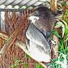 Koala at Alpaca Farm