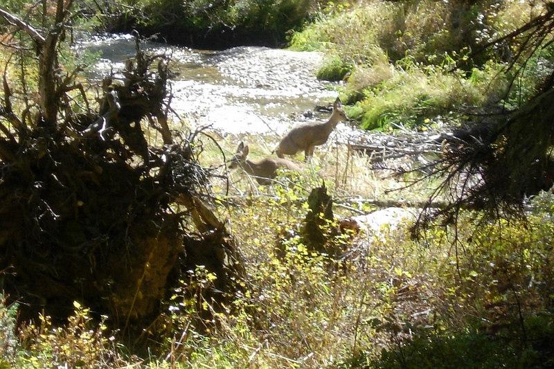 Deer in Cascade Canyon Grand Teton National Park