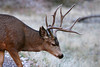 Zion NP,  UT  Mule deer