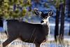 Bryce Canyons, UT Mule Deer
