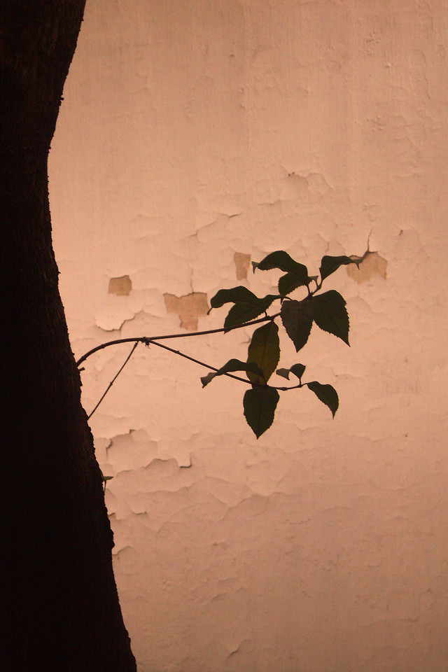 In that same garden home in Suzhou, I really liked the image of the silhouette of these leaves on the peeling wall.