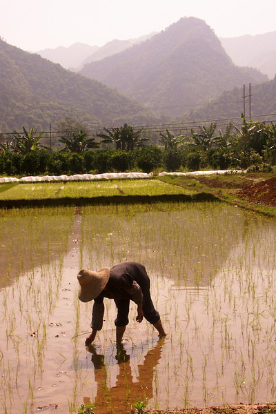 The Guilin area is also resident to rice paddies, some on mountains (coming up soon). Here's a woman planting rice by hand.