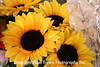 Sunflowers in Le Marche at Nice
