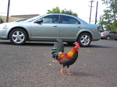 61 - chicken in the Hilo Hatties parking lot
