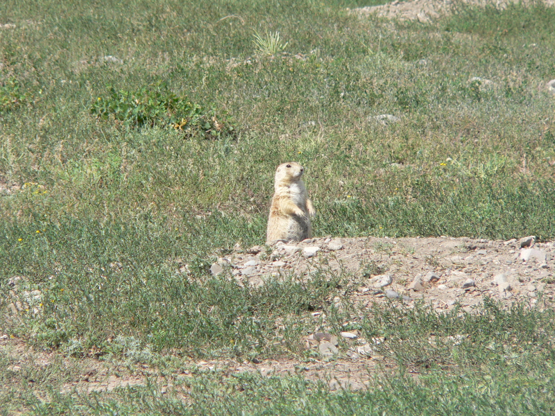 Natania called the prairie dogs beavers.