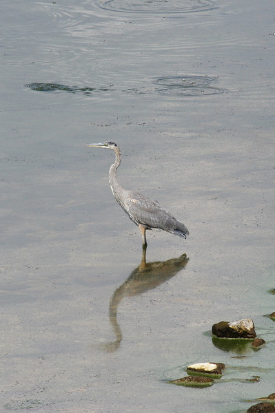 Great Blue Heron in Hebgen Lake (West of Yellowstone NP).