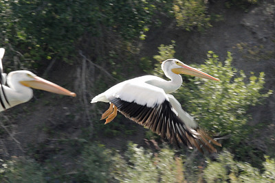 White Pelicans fishing on the Yellowstone River South of Livingston, MT.