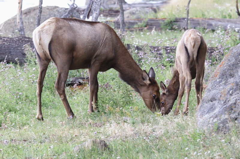 Elk cows and calves are plentiful and can be found close to the roads in Yellowstone NP this time of year.