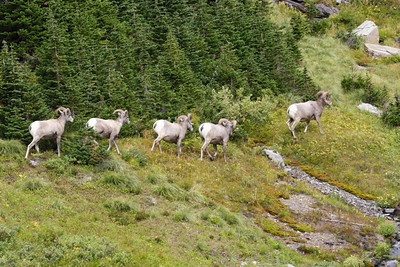 Bighorn Sheep in Glacier NP.