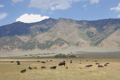 Some cattle just over the continental divide in Northeastern Idaho.