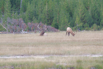 Bull elk are reclusive at this time of year, eating and resting and dreaming about the mating season to come in the Fall.