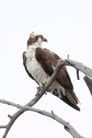 Osprey looking for a meal along the Madison River in Yellowstone NP.