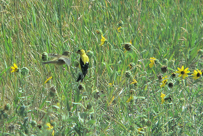 Young Goldfinch begging to be fed. Many of the back roads were lined with black-eyed susans which attracted flocks of Goldfinches.