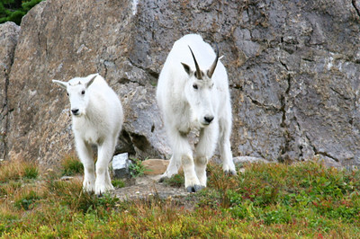 Mountain Goats in Glacier NP.