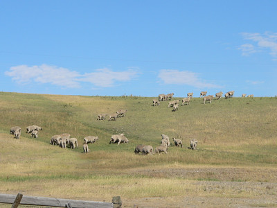 Some sheep outside of Big Timber.