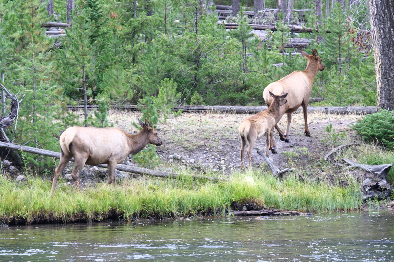 Elk cows and a calf in Yellowstone NP.