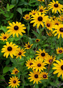 6970 Black Eyed Susans