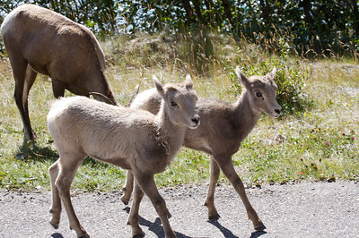 A pair of baby big horn sheep on the road near Medicine Lake