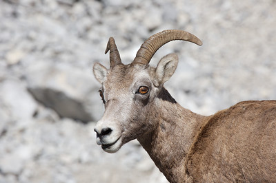 A big horn sheep on the road near Medicine Lake