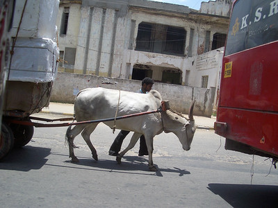 It's not common to see cows and pack animals, but we passed several during the day. India. Bangalore.