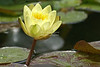 Yellow Lotus Flower Bathing in Sunlight