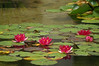 Group of five red water lilies in a pond
