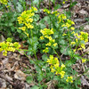 Some spring wildflower (to be identified -- Mountain Mustard?)
