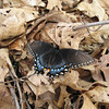 Butterfly (to be identified)
