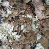 """Lichen patterns around Blackrock Peak. Very large, flakey bits (pine needles in picture show the scale.) Further along the trail you'd see 2-3"""" square pieces that had sloughed off rock faces higher up."""