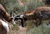 Antelope Island feud, UT