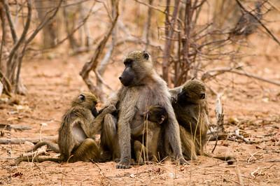 baboon (4)