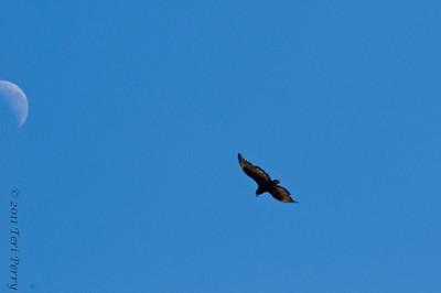 bateleur eagleDSC_4855