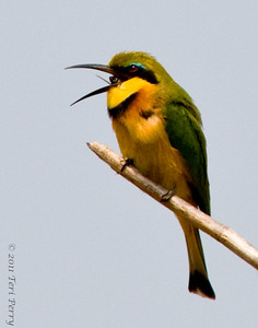 This bird is a bee eater and just by shear luck I caught him with the back of the bee in his throat.