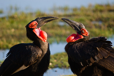 ground hornbill botswana2