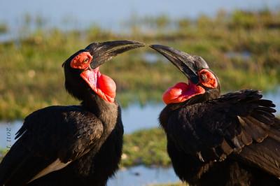 ground hornbill botswana2