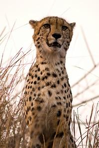 cheetahDSC_3746