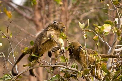 baboon (5)