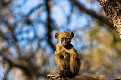 baboon (2)