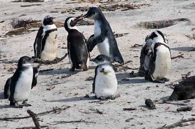 african penguins (2)