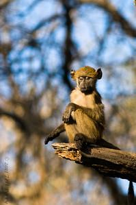 baboon (1)