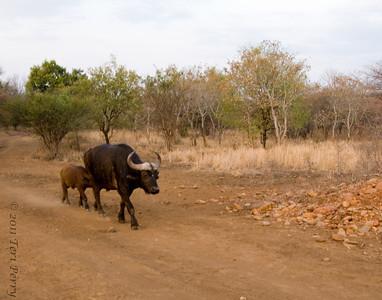 cape buffalo family