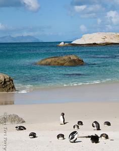 african penguins (1)