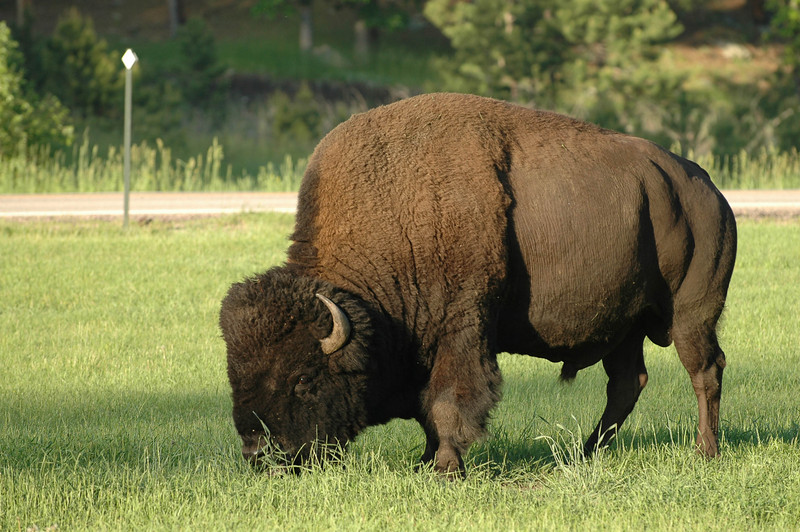 Here is a buffalo that roamed to the side of our campground to munch on the grass.<br /> edit<br /> Delete caption