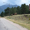Traffice jam caused by an elk crossing in Estes Park.