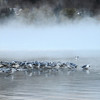 Gulls - early morning scene on Otsego Lake