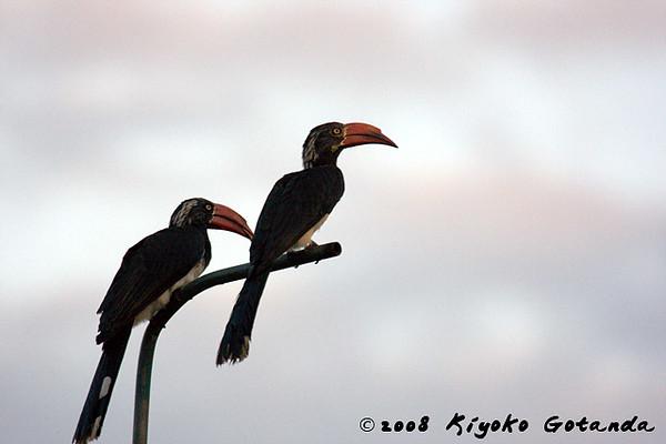 Crowned hornbills