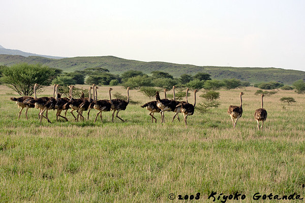 Female Common Ostriches