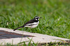 African pied wagtail after a successful foraging effort