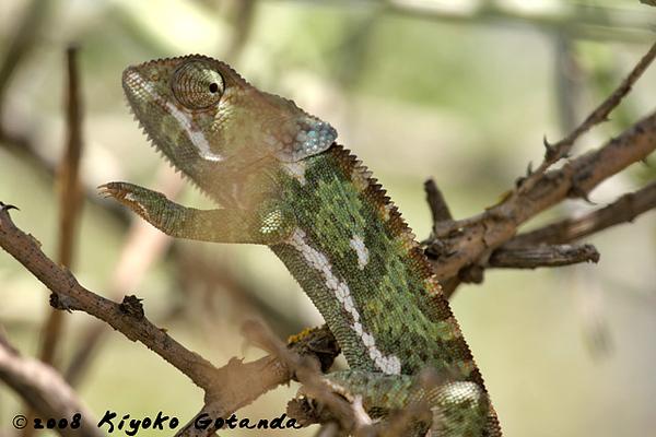 Flap Neck Chameleon